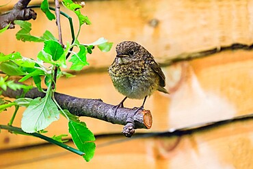 Juvenile (immature) European robin (Erithacus rubecula) perched in a Chiltern Hills garden, Henley-on-Thames, Oxfordshire, England, United Kingdom, Europe