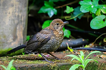 Juvenile Common blackbird (Turdus merula) waits for food from parent in a Chilterns garden, Henley-on-Thames, Oxfordshire, England, United Kingdom, Europe