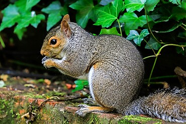 Eastern grey squirrel (Sciurus carolinensis) in garden. An invasive species from Nth America; Henley-on-Thames, Oxfordshire, UK