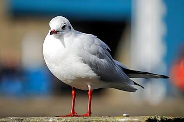 Black-headed gull (Chroicocephalus ridibundus) in winter plumage in this popular coastal town, Aberaeron, Ceredigion, Wales, United Kingdom, Europe