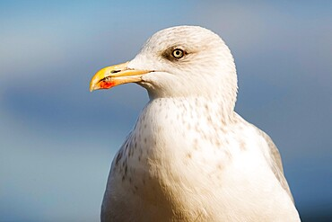 European Herring gull (Larus argentatus), declined due to less fish but a common scavenger, New Quay, Ceredigion, Wales, United Kingdom, Europe - 83-13269