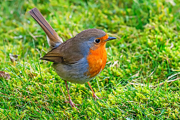 European robin (Erithacus rubecula), a colourful popular bird, in the Chiltern Hills; Pishill, Henley-on-Thames, Oxfordshire, UK