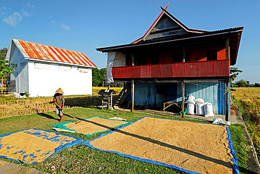 Farmer raking rice at a village in karst limestone region, Rammang-Rammang, Maros, South Sulawesi, Indonesia, Southeast Asia, Asia