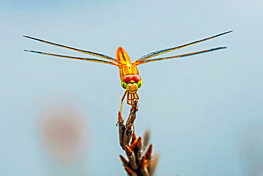 Asian Groundling dragonfly (Brachythemis contaminata) by fish pond, Rammang-Rammang, Maros, South Sulawesi, Indonesia, Southeast Asia, Asia