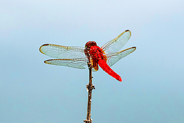 Scarlet Basker dragonfly (Urothemis signata) by fish pond, Rammang-Rammang, Maros, South Sulawesi, Indonesia, Southeast Asia, Asia