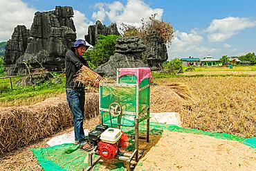 Man machine threshing rice by limestone rocks in karst area, Rammang-Rammang, Maros, South Sulawesi, Indonesia, Southeast Asia, Asia