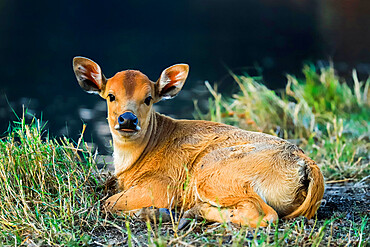 Newborn calf, Salenrang village, in karst limestone region, Rammang-Rammang, Maros, South Sulawesi, Indonesia, Southeast Asia, Asia