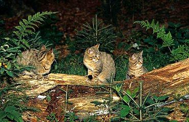 Wildcats (Felis silvestris), kittens