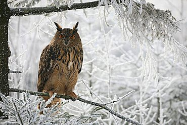 Eurasian Eagle Owl (Bubo bubo) in frost-covered forest