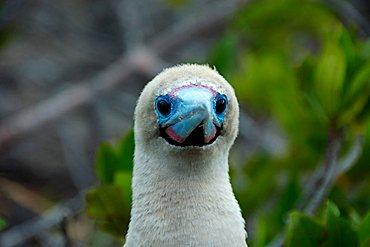 Red-footed Booby (Sula sula websteri), Galapagos Islands, Ecuador, South America