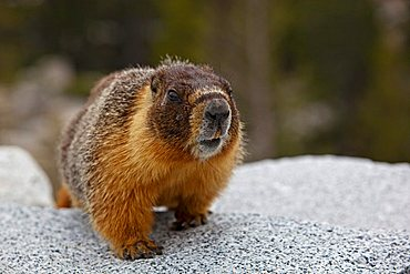 Groundhog, Woodchuck or Whistle-pig (Marmota monax), Yosemite National Park, California, USA