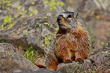Groundhog, Woodchuck, Whistle-pig, Land-beaver (Marmota monax), Yellowstone National Park, Wyoming, Idaho, Montana, America, United States