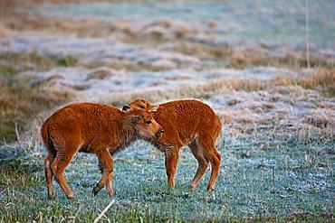 Bison calves, American Bison or American Buffalo (Bison bison), Yellowstone National Park, Wyoming, Idaho, Montana, America, United States