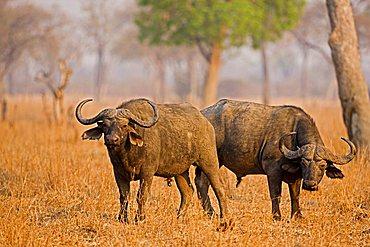 African Buffalo (Syncerus caffer), South Luangwa National Park, Zambia, Africa