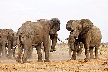African Bush Elephants (Loxodonta africana) comparing strength, Savuti, Chobe National Park, Botswana, Africa