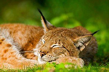 Eurasian Lynx (Lynx lynx) sleeping, Bavaria, Germany, Europe