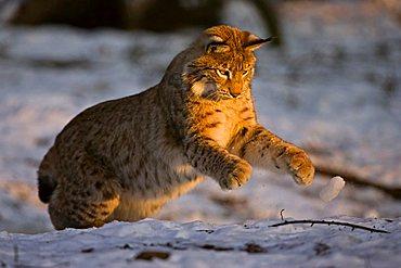 Eurasian Lynx (Lynx lynx) playing, winter, Bavaria, Germany, Europe