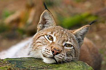 Eurasian Lynx (Lynx lynx), Bavaria, Germany, Europe