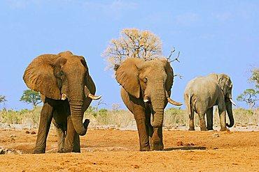 African Bush Elephants (Loxodonta africana), Savuti Waterhole, Chobe National Park, Botswana, Africa