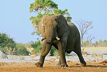 African Bush Elephant (Loxodonta africana) bull, Savuti, Chobe National Park, Botswana, Africa