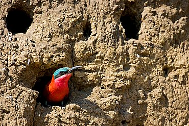 Southern Carmine Bee-eater (Merops nubicoides) in a nesting cave on the steep banks of the Okavango River, Botswana, Africa
