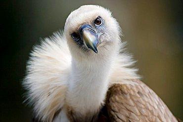 Griffon Vulture (Gyps fulvus), Bavaria, Germany, Europe