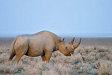 Black Rhinoceros or Black Rhino (Diceros bicornis), Etosha National Park, Namibia, Africa