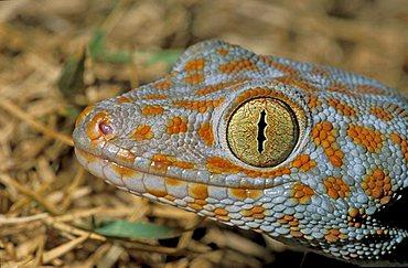 Tokay gecko (Gekko gecko), Khao Sok, Thailand, Southeast Asia