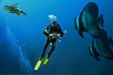 Middle East Egypt Red Sea scubadiver COMPOSING> Turtle Batfish