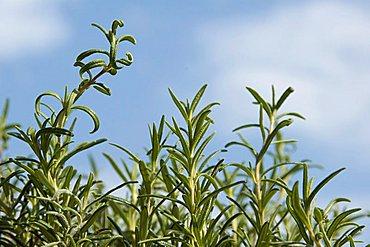 Rosemary rosmarinus officinalis medicinal herbs
