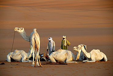 Tuareg care about their white camels in the desert Mandara Libya