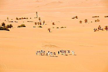 Tuareg walk with camels through the desert and sporadic palm trees Mandara Libya