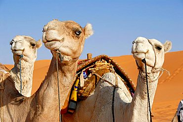 Three camels look in one direction Mandara Libya