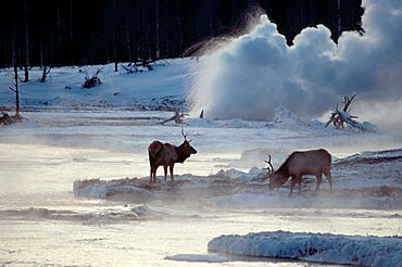 Elks and geyser, Biscuit Basin, Yellowstone national park, Wyoming, USA / (Cervus canadensis)