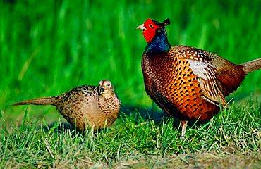 Game Pheasant, pair, Rhineland-Palatinate, Germany (Phasianus colchicus)