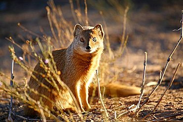 Yellow Mongoose, Cynictis penicillata, Nambibia, Africa