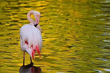 Flamingo (Phoenicopteridae) grooming its feathers, in captivity