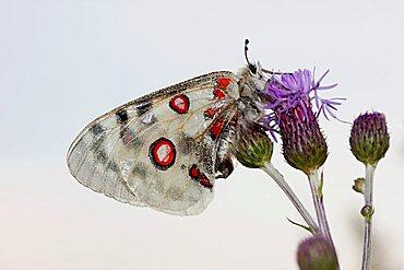 Apollo or Mountain Apollo butterfly (Parnassius apollo), Eichstaett, Bavaria, Germany, Europe - 832-21583