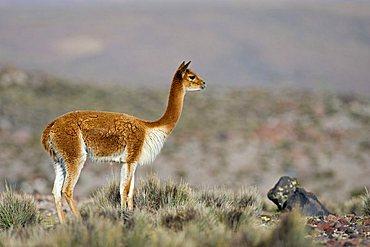 Vicuna (Vicugna vicugna), national park Lauca, Chile, South America