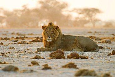 Male lion (Panthera leo) is lying between elephant muck, Nxai Pan, Makgadikgadi Pans National Park, Botswana, Africa