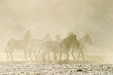 Plains Zebras (Equus quagga burchelli) in the dusty dry riverbed, Boteti River, Khumaga, Makgadikgadi Pans National Park, Botswana, Africa