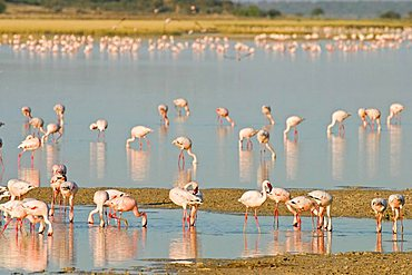 Lesser Flamingos (Phoenicopterus minor) at a lagoon, Etosha National Park, Namibia, Africa