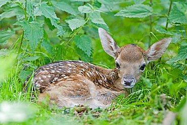 European fallow deer, fawn - (Dama dama dama)