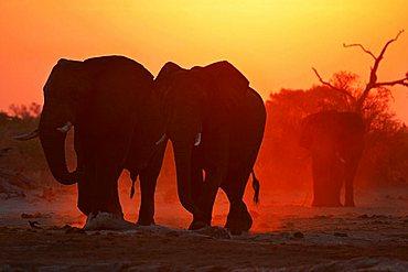 African elephants (Loxodonta africana) sunset. Savuti, Chobe National Park, Botswana, Africa