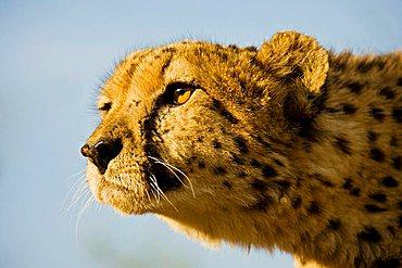 cheetah (Acinonyx jubatus) Namibia, Africa