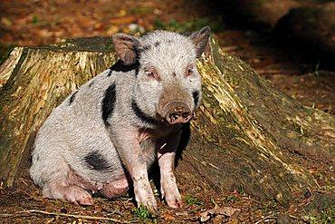 joung pot-bellied pig