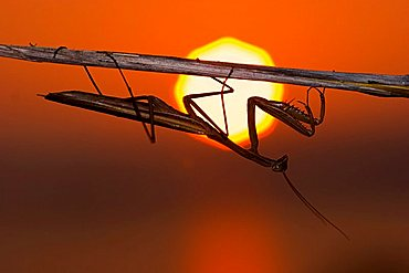 mantis in sunset