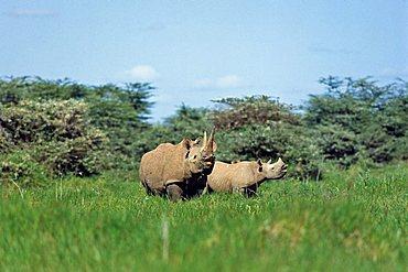 Black Rhinoceros Diceros bicornis with cub, Amboseli Nationalpark, Kenia, East-Africa