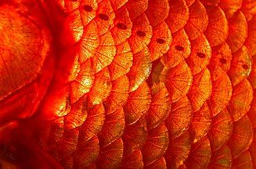 Goldfish, scales, close up, Carassius auratus, captive