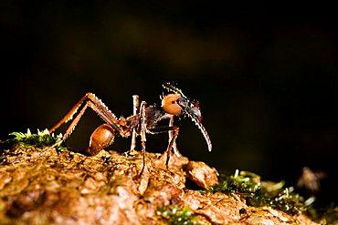 Army Ant, major (Eciton burchellii), rainforest of La Selva, Costa Rica, Central America